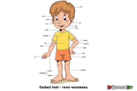 Венгерский язык - Тело человека (Emberi test)